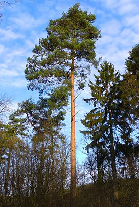 Scots Pine  in Fineshade Wood