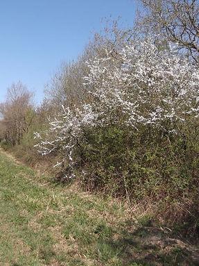 Blackthorn flowering in Fineshade Wood