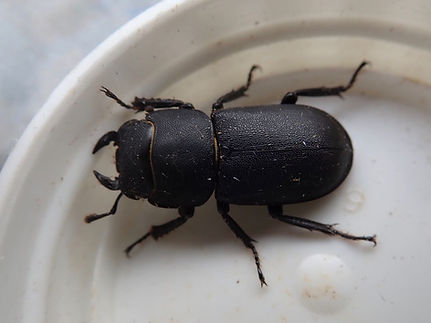 Lesser Stag Beetle - Dorcus parallelipip