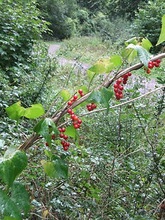 Black Bryony Fineshade Wood