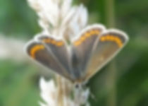 Brown Argus in Fineshade Wood