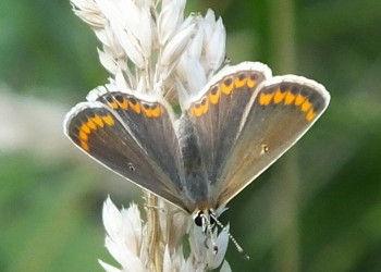 Brown Argus in Fineshade Wood