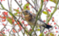 Fieldfare Fineshade Wood