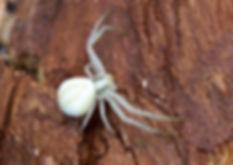 Crab Spider Fineshade Wood