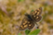 Fineshade Wood Chequered Skipper