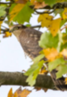 Fineshade Wood Sparrowhawk