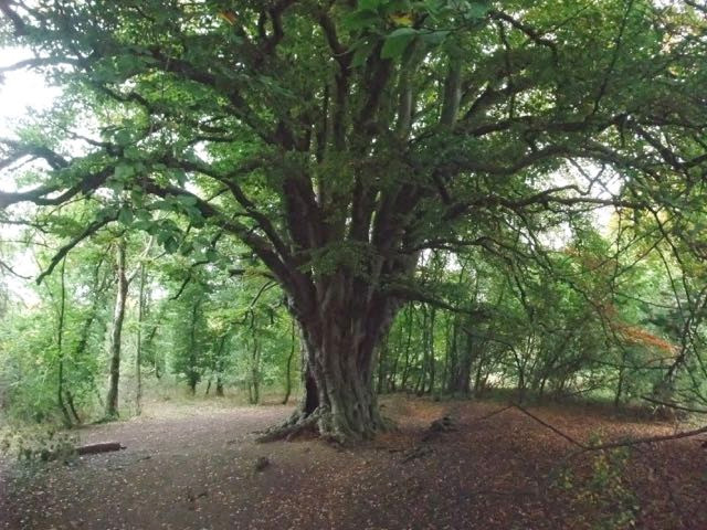 The huge beech tree... like a cathedral?