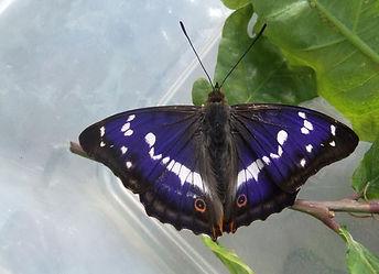 Purple Emperor in Fineshade Wood
