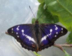 Fineshade Purple Emperor