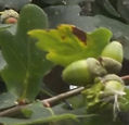 Fineshade acorns and oak leaves