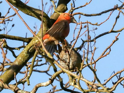 Fineshade Wood Crossbills mating