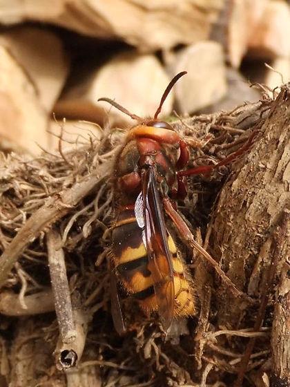 Hornet Fineshade Wood