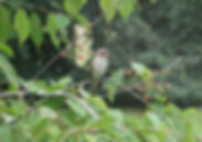 Spotted Flycatcher.jpg