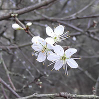 Fineshade Wood Blackthorn flower