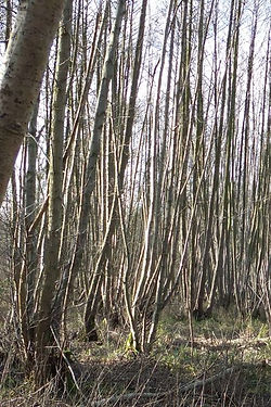 Alders  in Fineshade Wood