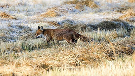Fineshade Wood Fox in the frost