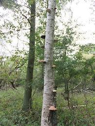 Fineshade Wood Birch Polypore