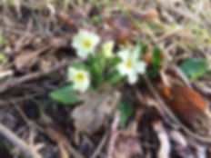 Fineshade Wood primrose