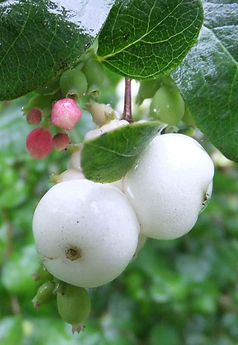 Snowberry Fineshade Wood