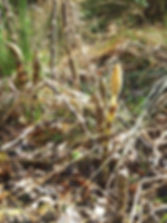 Fineshade Wood Horsetail