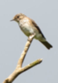 Fineshade wood Spotted flycatcher