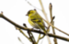 Siskin Fineshade Wood