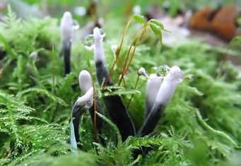 Fineshade Wood fungus Candlesnuff