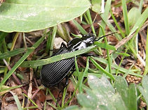 Groung beetle in Fineshade Wood