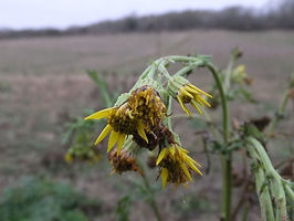 Fineshade Wood Ragwort
