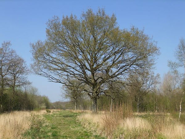 Fineshade Wood oak