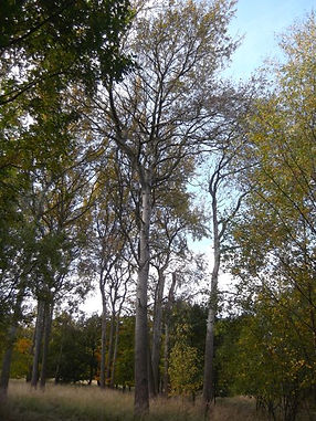 Poplars  in Fineshade Wood