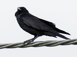 Fineshade Wood raven