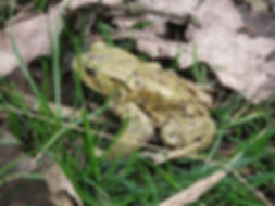 Fineshade Wood Toad