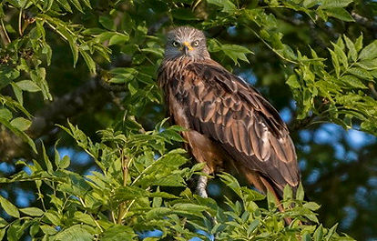 Fineshade wood Red Kite. Photo: Kurt Hellwing