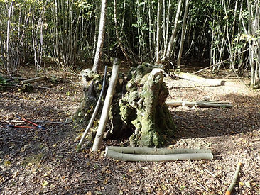 Coppice stool after.jpg