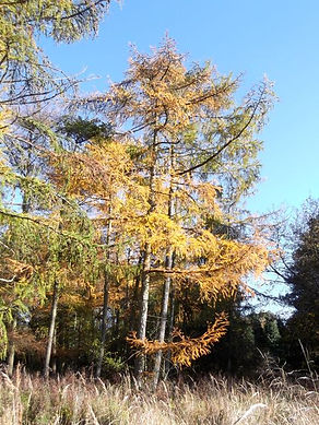 Larch  in Fineshade Wood