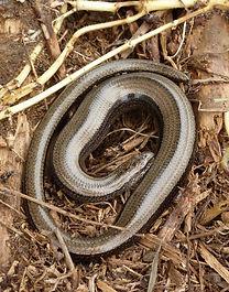 Slow worm in the garden. Photo: Lynda Peirce