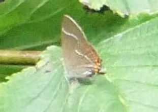 Fineshade wood hairstreak
