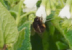 Hairy-footed Flower Bee - Anthophora plu