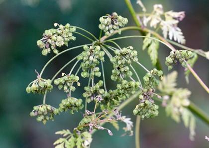 Seeds of hemlock
