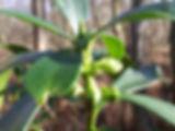 Fineshade Wood Sprurge Laurel buds