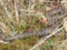 Fineshade Wood Adder