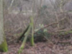 Fineshade Wood Stinking Hellibore