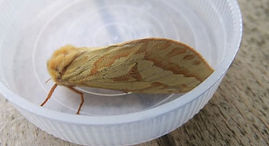 Fineshade Wood Ghost Moth
