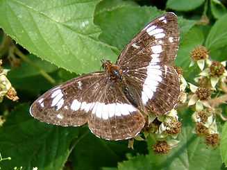 White Admiral in Fineshade Wood Photo: Barrie Galpin