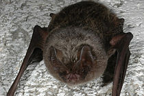 Barbastelle Bat. Photo Phil Richardson