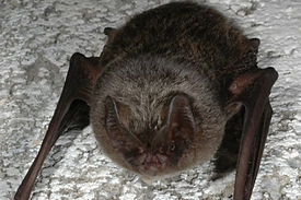Barbastelle Bat. Photo Phil Richardson
