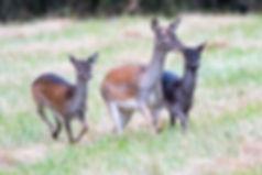 Fallow deer. Photo: Kurt Hellwing