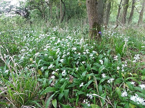 Wild garlic Fineshade Wood