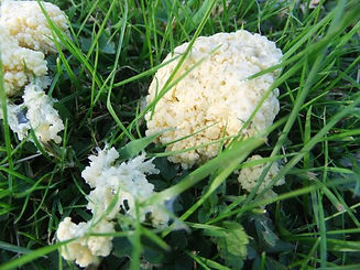 Fineshade wood Slime Mould